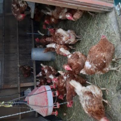 18 Monate alte Legehühner zu Verkaufen - thumb