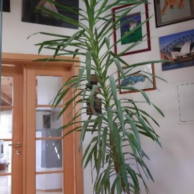 Yucca Palme - thumb