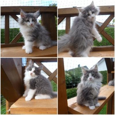 Norwegische Waldkatzen Kitten - thumb