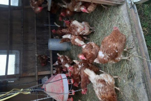 18 Monate alte Legehühner zu Verkaufen
