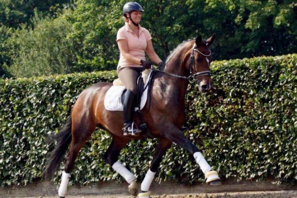 Oldenburger Pferd zu verkaufen